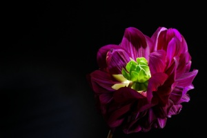 Purple dahlias flower on black background.